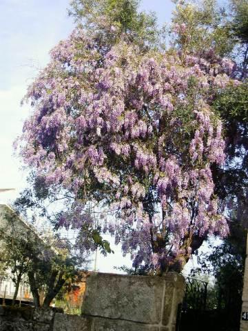 cvetuschaya-glicinia